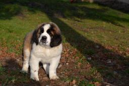 Svatobernardský pes ( Bernardýn) s PP
