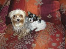 Biewer Yorkshire Terrier fenečka 9 týdnů