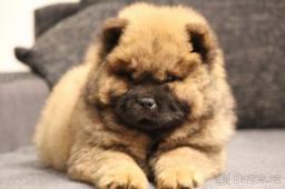 Čau Čau štěně