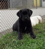 Černý pejsek labradora s PP