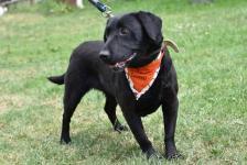 LEYA - Labrador x kříženec 20 kg kastrovaná 5 let