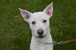COUDY - Labradorský retrívr x Doga - pes štěně