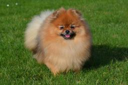Pomeranian s PP - fenka