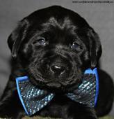Labrador - černá+čokoládová štěňata s PP