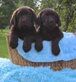 Labrador retriever čokoládová štěnátka s PP