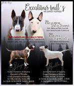 Bullterrier šteniatka s PP