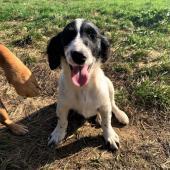 FABIO a NELLY - štěně, pes, fena 18 týdnů.