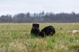 štěňátka černá se znaky