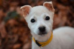 LUPILULU - Kříženec malý - fena štěně.