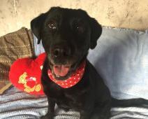 MALVÍNA - Labrador x - kastrovaná fena 7 let