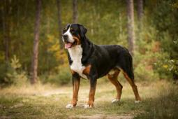 Velký švýcarský salašnický pes - krytí