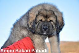 Tibetská doga štěňátka