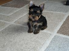 Jorkšírský Teriér / Yorkshire Terrier s PP