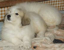 Pyrenejský horský pes štěňátka
