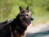 DAX - Německý ovčák x kříženec - pes