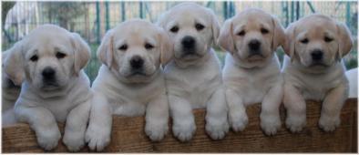 Labrador - přijímáme rezervace na štěňátka s PP