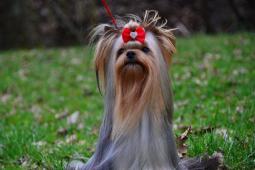 Chovný pes yorkšírského teriéra s PP