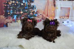 Sestřičky Dark Choco Yorkshire Terrier s PP