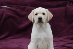 Labrador šteniatko