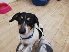 JERRY - Kříženec malý - pes mladý.
