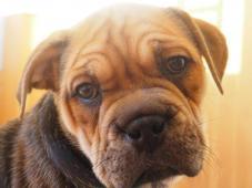 Malorská dogy - štěňátko