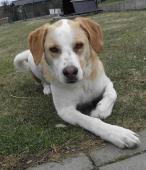 COKI - kříženec cca 25 kg - kastrovaný pes 3 roky.