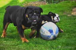 Anglciký buldog,buldok,bulldog