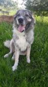 DIXINKA - Šarplaninský pastevecký pes x - fena 8 l