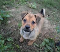 TODDY - kříženec - štěně, pes 4 měsíce.