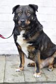 ASLAN - kříženec - kastrovaný pes 4 roky.