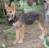 HERA - kříženec - štěně, fena 7 měsíců.