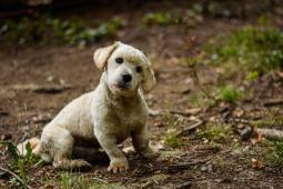 EDKO - Maltézský psík x - pes 2 roky
