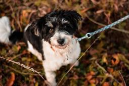 BENINA - Maltézský psík x - fena 1 rok