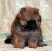 Německý špic malý / trpasličí štěně s PP