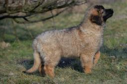 leonberger  s PP (FCI)