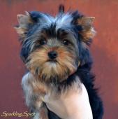 Yorkshire terrier - psík s PP