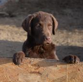 Štěňátka Chesapeake bay retriever s PP