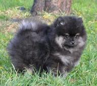 Německý špic malý štěně s PP FCI