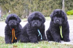 Novofundlandský pes s PP (Newfoundland)