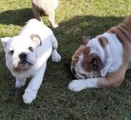 Anglický Bulldog bílá fenka s PP
