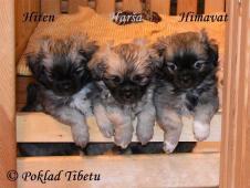 Chovatelská stanice Poklad Tibetu nabízí pejsky