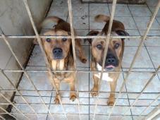 2 zachránění stafordi - Stafordšírský teriér - pes