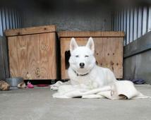 MYŠKA - Husky x kříženec 20 kg - kastrovaná fena 1