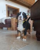 Velký švýcarský salašnický pes - štěně
