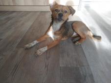 Sherry (6 měsíců, cca 15 kilo dosp.) k adopci