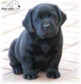 Labrador - krásná ČERNÁ štěňátka s pp
