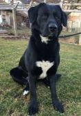 Daruji psa černý labrador bez PP, 4 roky