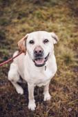 Labrador Ron hledá novou rodinu