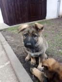 Prodám štěně s PP