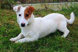 MAJLO - JRT x - štěně, pes 8 měsíců.